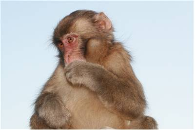 Small Rhesus Monkey